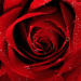 Roses Jigsaw Puzzles 2.9.44